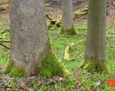 zufussunterwegs; wandern; Nationalpark Hainich; Bärlauch; Frühling; Orchideen