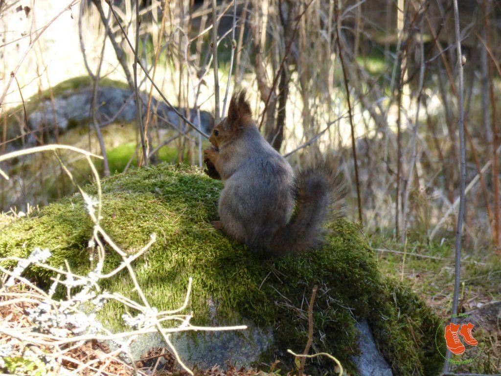 Stadtspaziergang Helsinki; zu Fuss unterwegs; Seurasaari; Insel; Eichhörnchen