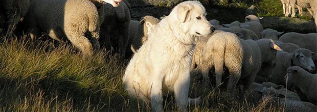 Hütehund; Herdenschutzhund; zu Fuss unterwegs; wandern