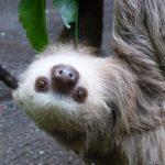 zuFussunterwegs_Nationalparks Costa Rica_Faultier
