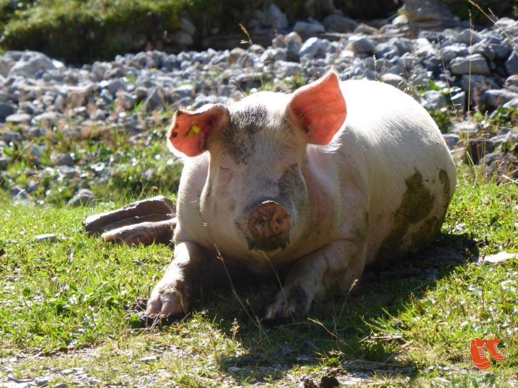 33 Zitate über das Glück im Alltag - ein Glücksschweinchen hilft