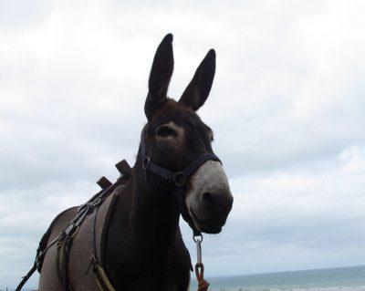 zuFussunterwegs_Eselwandern oder die Weisheit der vierbeinigen Langohren